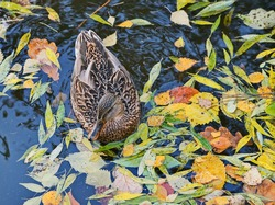 A pond full of fallen colorful autumn leaves, and floating in it, a female wild duck.
