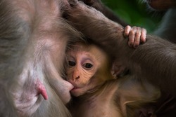 A Portrait of  The Rhesus Macaque Mother Monkey Feeding her Baby and showing emotions