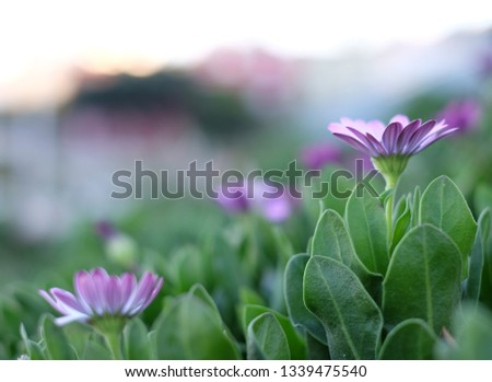 A purple flower with petals nearly fully opened up, in selective focus and background of green leaves, more flowers in defocus and bright white defocused light. #1339475540