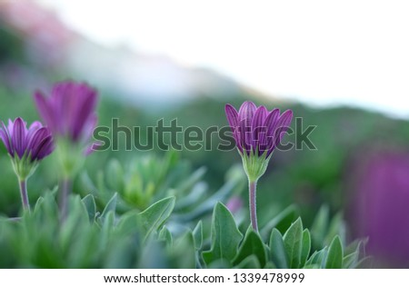 A purple flower with petals pointed up, in selective focus and background of green leaves, more flowers in defocus and bright white defocused light. #1339478999