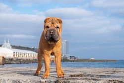 A red Shar Pei dog stands on a stone pier on the beach.