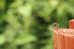 a red tiny bug on the edge of wooden fence, looks like dancing