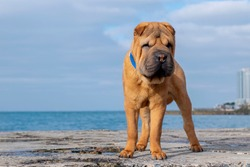 A Shar Pei dog stands on a sea pier.