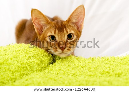a small Abyssinian kitten during rest. hid behind a green material