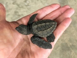 A small black sea turtle lies in the palm of your hand. Sea Turtle Hatchling.