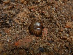 A small brown pill-millipede on ground, Arthropoda, Diplopoda