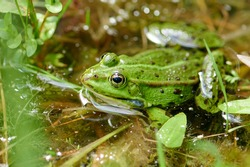 A small green water frog with black spots in the water