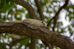 A squirrel sleeping on a tree