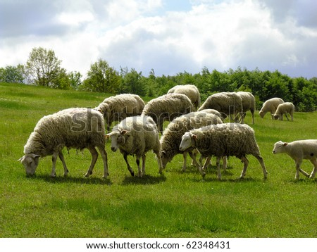 A summer landscape with herd of sheep