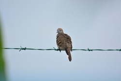 A turtledove bird grooming on green cable