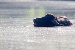 A water buffalo (Bubalus bubalis) enjoying a bath in a lake.