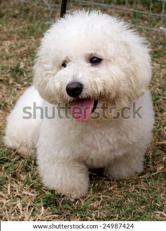 Poodle Puppies on White Cute Poodle Puppy On The Meadow  Stock Photo 24987424
