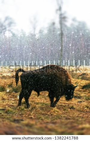 A wild bison stands sideways on the field, under the falling snow. Symbol of 2021 New Year of China. Year of the bull. No focus.