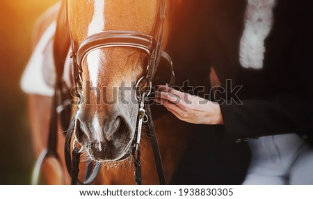 A woman in a horsewoman's costume adjusts the straps on the bridle worn on the muzzle of a sorrel horse with a white spot on its forehead, which is illuminated by bright sunlight. Equestrian sports. Foto stock ©