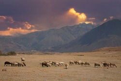 A woman shepherd is moving Donkeys and sheep  to a new pasture near  Maras, Peru
