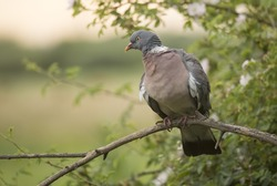 A wood Pigeon perched.