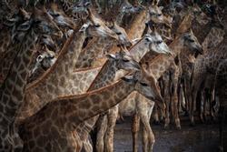 abstract flock of giraffe in wild