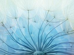 Abstract macro photo of dandelion seeds.