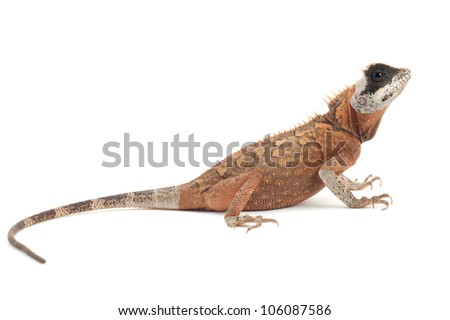 (Acanthosaura species) isolated on white background - stock photo