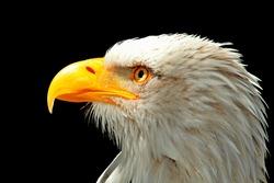Adler Bald Eagle Raptor Bird Bird Of Prey Bill