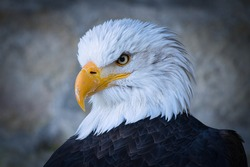 adler head bird if prey eagle head plumage.jp