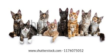 8, adorable, antracite, baby, big ears, blue, blue tabby point, boning, breed, bright, brown, brown eyes, cats, coons, costarini, cute, domestic, eight, family, felines, fluffy, funny, gentle giants,  #1176075052