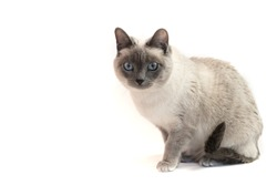 Adorable siamese cat on white background