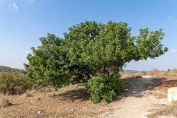 Adult tree with a spreading crown of Ceratonia siliqua on a hill in the Beit Govrin Nature Reserve Israel