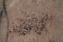 Aerial top down view of herd of cows going on the field. Two shepherd riding on horses near the flock. Dogs running around cows. Domestic agriculture animals. Caucasus, Russia winter.
