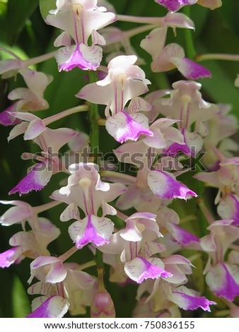 Aerides falcata ,Found in Thailand, occuring in semi-deciduous and deciduous dry forests, this flower is pink white and blooms long, very fragrant, waxy flowers occuring in the summer.  #750836155