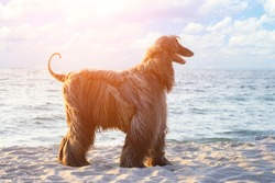 Afghan hound black breed dog on the sea beach at dawn.