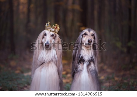 Afghan hounds , Dogs  in the crown and royal clothes  on a natural background. Dog lord or  prince, dog power theme #1314906515
