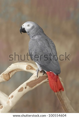 African Grey Parrot Perched