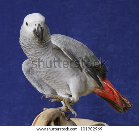 African Grey Parrot Perched, isolated on blue