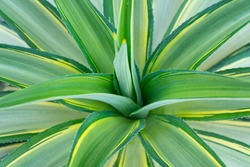 Agave with leaves are grayish green. The edges of the leaves are hard thorns. Some types resemble tentacles. Arranged like a rose petal texture of nature.