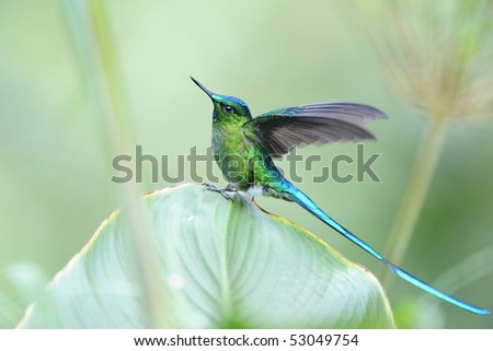 """Aglaiocercus coelistis"", ""Violet-tailed Sylph"""