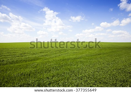 Agricultural field on which grow the young grass. wheat #377355649