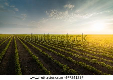 agricultural soy plantation on ...