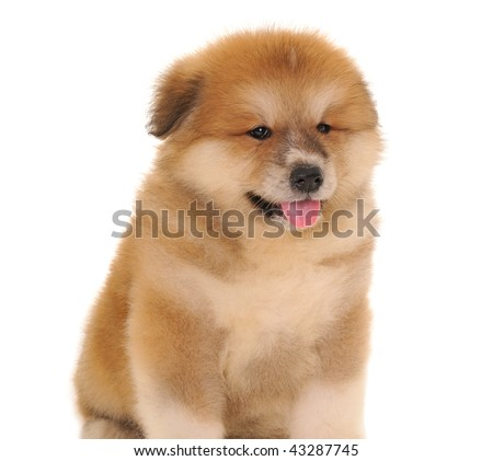 Akita Puppies on Akita Inu Puppy Dog On White Background Stock Photo 43287745