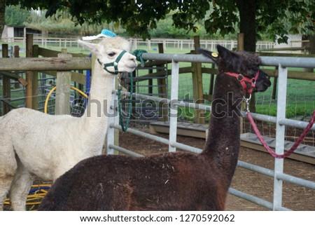 Alpaca Farm Picture