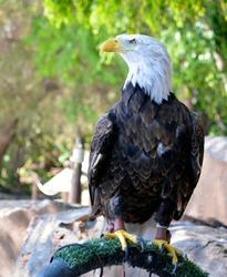 American Bald Eagle (Haliaeetus leucocephalus) in Zoo of Tenerife, Canary Islands,Spain.North American bird of prey.National emblem of USA.Selective focus.