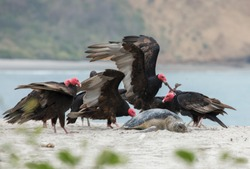 American Black Vulture (Coragyps atratus) and Turkey Vultures (Cathartes aura) feeding on a Green Turtle (Chelonia mydas).