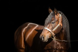 American quarter horse stallion on  black background