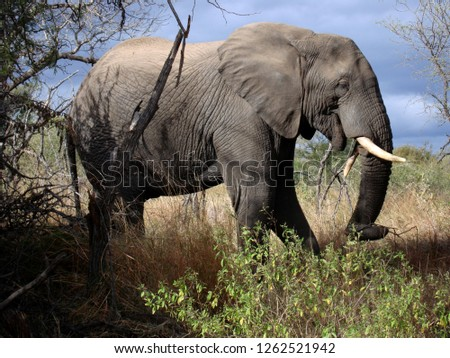 An African bush elephant (Loxodonta africana in Latin) in Kruger National Park, South Africa.       Stock photo ©