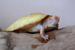 An albino red ear slider (Trachemys scripta elegans) tortoise is basking on dry logs. Selective focus on white background.