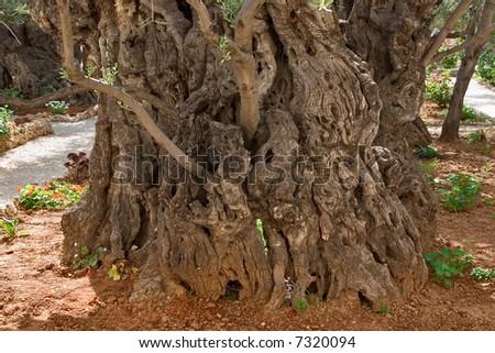 An ancient tree in Gethsemane Garden  in Jerusalem