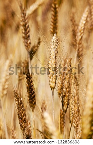 an ear of a mature rye. photo close up, small depth of sharpness