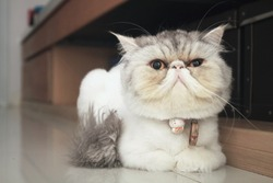 An exotic cat with a short, round face looking at it as if it was smiling. Really cute