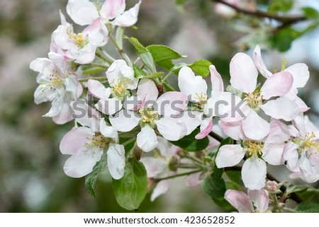 apple blossom                               #423652852