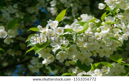 Apple blossom. in the sunshine over natural green background.  tree white blossoms in Spring.